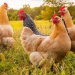 EVERYTHING ON POULTRY FARMING IN NIGERIA